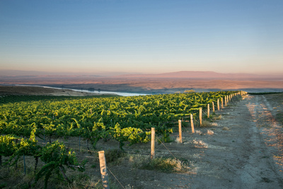 Vineyard with Rattlesnake Mountain