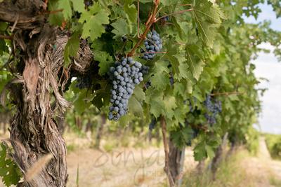 Wine Grapes II