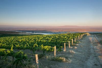 Vineyard with Rattlesnake Mountain